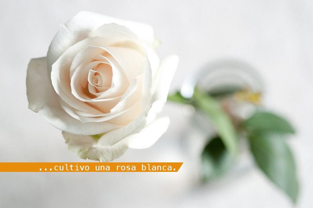 cultivo una rosa blanca